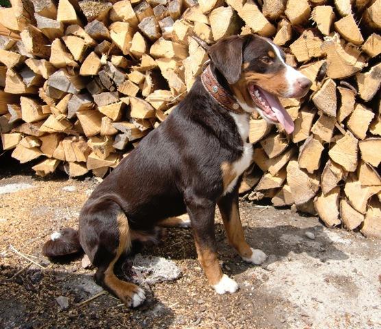 Vom Gut Maschwitz Berner Sennenhund Havanna Braun